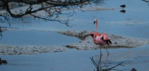 Flamingo just after landing