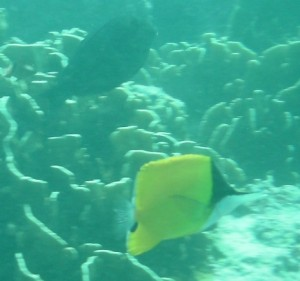 Long-nosed square, yellow fish (yeah, I know you can see that)